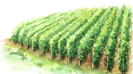 Hand drawn rural scene fragment of vineyard. Grape growing in rows watercolor sketch. Summer background with green cultivated plant. 写真素材
