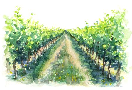 Hand drawn rural scene fragment of vineyard. Grape plant in rows watercolor sketch Imagens