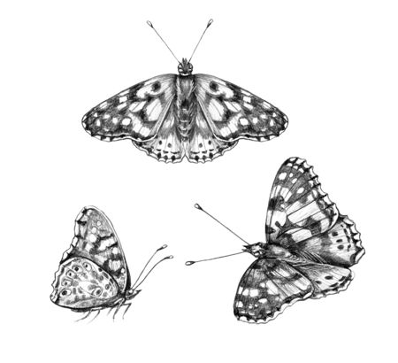 Hand drawn butterflies isolated on white background. Pencil drawing monochrome sitting and flying butterfly. Insect side and top view. Illustration in vintage style, t-shirt design, tattoo art.  Imagens