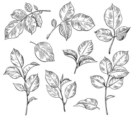 Ensemble dessiné à la main de feuilles de rose isolé sur fond blanc. Éléments floraux monochromes, croquis de vecteur de pièces de plantes.