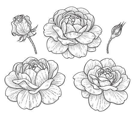 Hand drawn set of big rose flower heads and buds isolated on white background. Monochrome floral elements, plant parts vector sketch in vintage style. 向量圖像