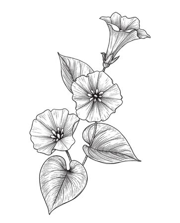 Hand drawn Bindweed flower with leaves isolated on white background. Vector monochrome elegant floral composition in vintage style, t-shirt, tattoo design, coloring page.