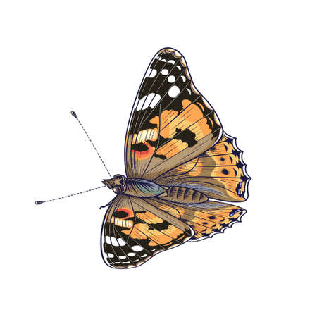 Hand drawn sitting Painted Lady Butterfly isolated on white background. Colorful meadow moth. Decorative element in vintage style, t-shirt design, tattoo art. Vector illustration.