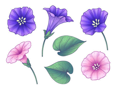 Hand drawn colorful bindweed flowers and leaves isolated on white background. Pink and purple flowers vector elegant floral set in vintage style.