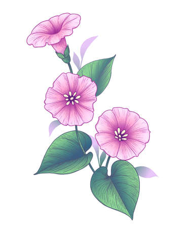 Hand drawn pink Bindweed flower with leaves isolated on white background. Vector colorful elegant floral composition in vintage style, t-shirt, tattoo design. Ilustração Vetorial