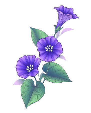 Hand drawn violet Bindweed flower with leaves isolated on white background. Vector colorful elegant floral composition in vintage style, t-shirt, tattoo design.