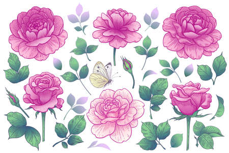 Blooming rose flowers heads, buds and leaves isolated on white background. Summer collection with pink roses. Vector floral elements and flying butterfly in vintage style.