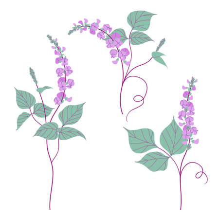 Simple dolichos flowers and green leaves isolated on white background. Blooming purple decorative twisted legume plant. Set of floral design elements. Colorful botanical vector flat illustration.