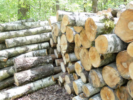 a photo showing a pile of sawn birch trees