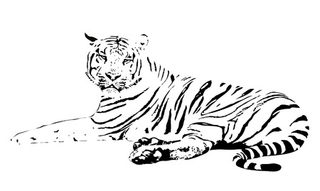 white tiger: vector illustration of the white tiger on a white background