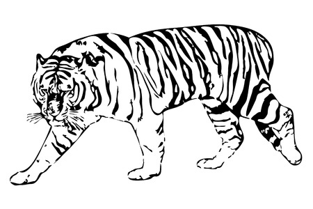 vector illustration of the white tiger on a white background