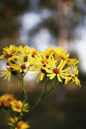 Yellow autumn flowers in the foreground Stock Photo - 5784192