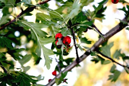 Small red fruits among leaves of a tree Stock Photo - 5784193