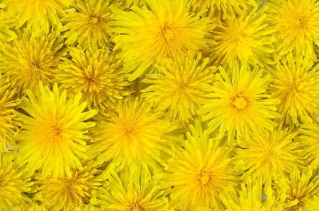 abstract background of flowering yellow dandelions Stock Photo - 9465613