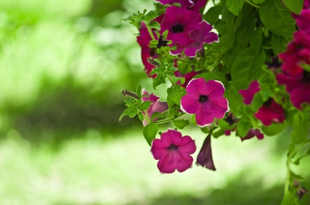 beautiful petunia flowers  photo