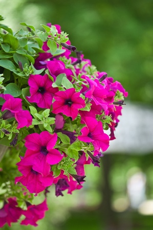 beautiful petunia flowers Stock Photo - 9613777
