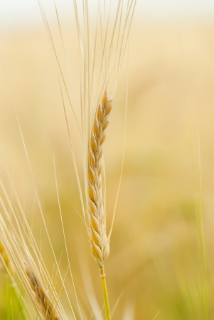 Yellow grain ready for harvest photo