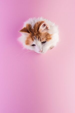 Cat muzzle peeps out through a hole in paper pink background. Template for design. Copy space and vertical orientation.