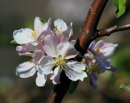 froze: Apple blossom from our tree.. It first froze,and this is the second blooming.  Stock Photo