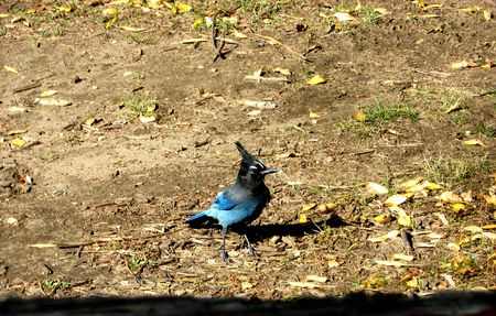 topknot: This stellar jay was constantly looking for a handout when were picnicking in Wyoming. Stock Photo