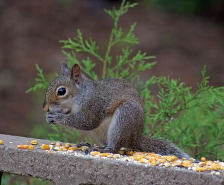 feasting: Gray squirrel feasting on peanuts and corn.