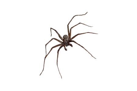 arachnophobia animal bite: A wolf spider waiting to pounce on its prey