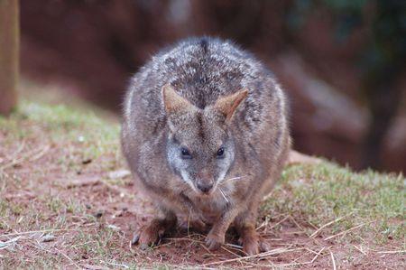cousin: The smaller cousin of the Kanagaroo