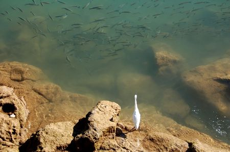 A Heron trying to decide which fish to pounce upon