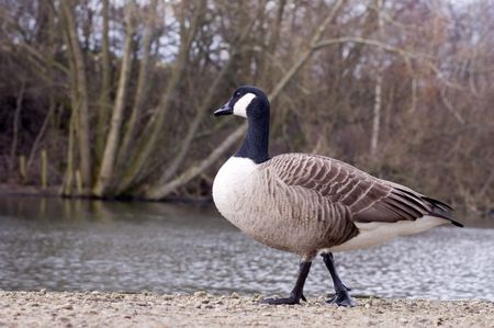 waddling: Branta canadensis or Canada goose waddling by the side of a lake Stock Photo
