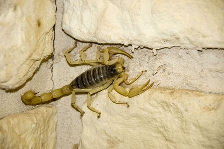 A yellow scorpian crawling across a wall