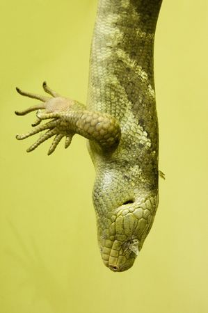 skinning: A green lizard hanging downwards with scaly skin covering its eye