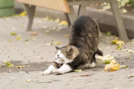Cat Stretching auf einer Straße wie in einem Yoga-Kurs Standard-Bild