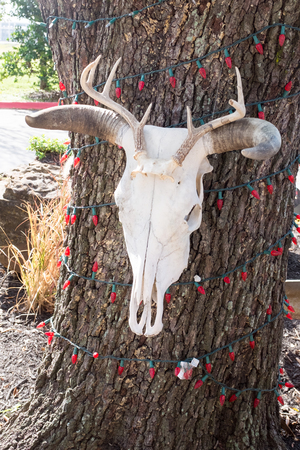 christamas: Cow skull hanging on a tree with red Christamas lights in Houston, Texas