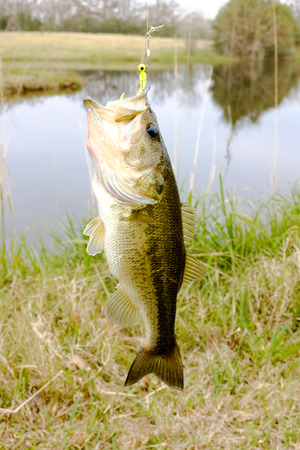 fish water: Striped Bass fish caught on a jig in a fresh water lake hanging on a line. Mouth open, fins with spikes out. Stock Photo