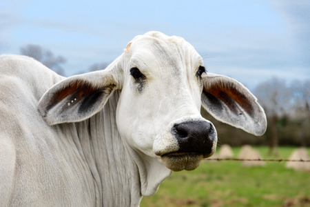 brahman: Head shot of an American Brahman cow in Texas. The first cattle breed developed in America in early twentieth century