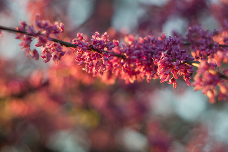 redbud: Cluster of Redbud tree flowers on a branch -  showy, light to dark magenta pink in color - lit by warn sun at sunset. Redbud - large deciduous shrub or small tree, native to eastern North America from Southern Ontario, Canada south to northern Florida but