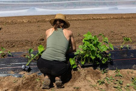 Farmhands tend crops at ecological farm. A slim and healthy young woman is seen from behind, planting young biological crops in soil in rural farmland during spring, with room for copy.