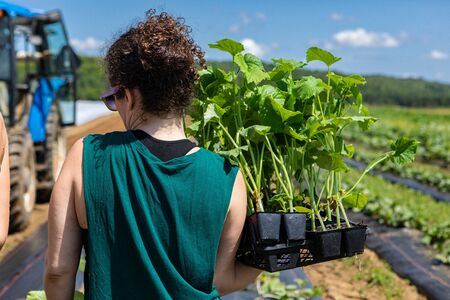 Farmhands tend crops at ecological farm. A young lady with frizzy hair tied up is seen from behind, carrying a tray of young crops in a large rural field as farmers prepare for the new season.