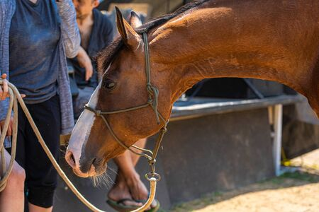 A close up on the side view of a beautiful brown horse with white face tied and standing next to a group of people
