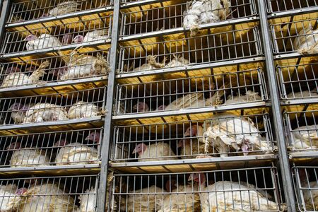 low angle of live white turkeys in transportation truck cages, the process of livestock and transporting poultry from the farm to the slaughterhouse concept.