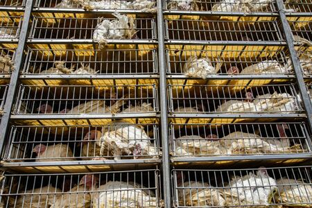 low angle of live white turkeys in transportation truck cages in bad conditions, process of transporting poultry from the farm to the slaughterhouse concept.