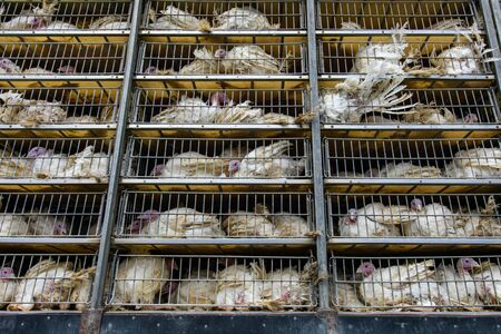 live white turkeys in transportation truck cages, Transfer from the farm to the slaughterhouse, with low angle and close view. Stock Photo