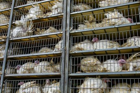 live white turkeys in transportation truck cages, Transfer from the farm to the factory process, with low angle and close view.