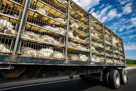 low angle and side view of a transportation turkey truck on the roads, lot of white turkeys in cages, The process of transporting poultry from the farm to the slaughterhouse concept.