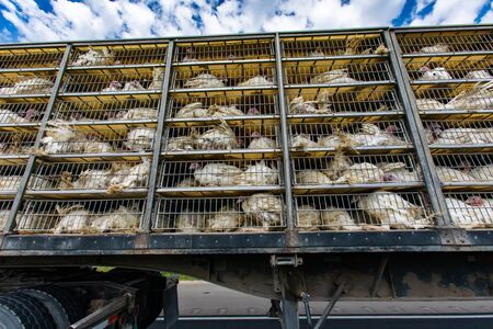 low angle of live white turkeys in transportation truck cages, The Inhumane process of transporting poultry from the farm to the slaughterhouse.