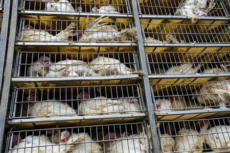 live white turkeys in transportation truck cages, Transfer from the farm to the factory, Food production process, with low angle and close view.