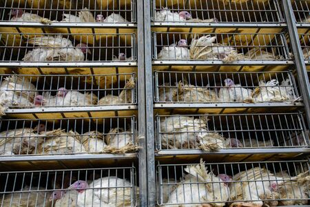 live white turkeys in transportation truck cages, Transfer from the farm to the butcher house, with low angle and close view. Stock Photo