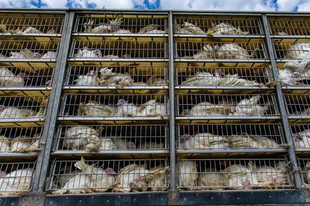live white turkeys in transportation truck cages, Transfer to the The slaughter process, with low angle and close view. Stock Photo