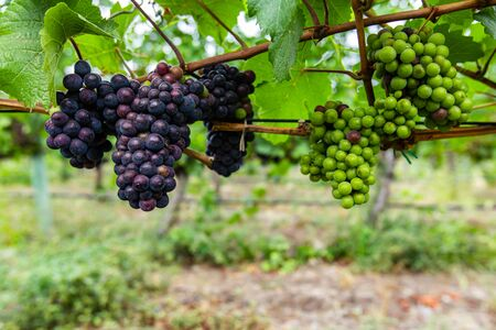 unripe fresh red and green grapes bunch small fruits with leaves and branches, close up and selective focus view in vineyard background, copy space Reklamní fotografie