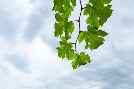 Fresh Green grape vine branch leaves, low angle view, against grey white cloudy sky background with copy space on the bottom